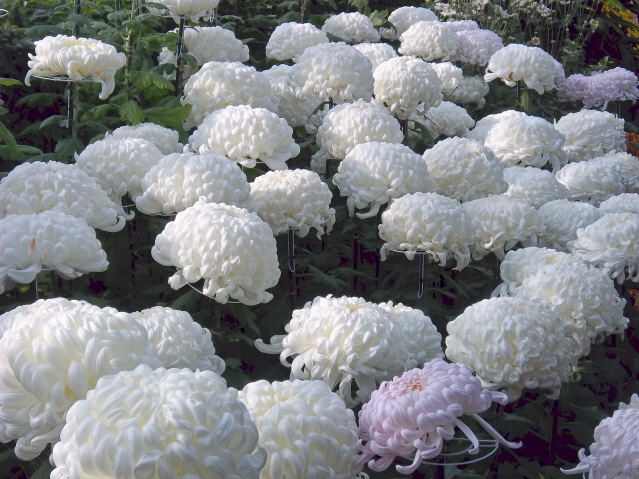 These mums were bigger than a grapefruit, and were so glossy and translucent that they should be made of spun sugar!